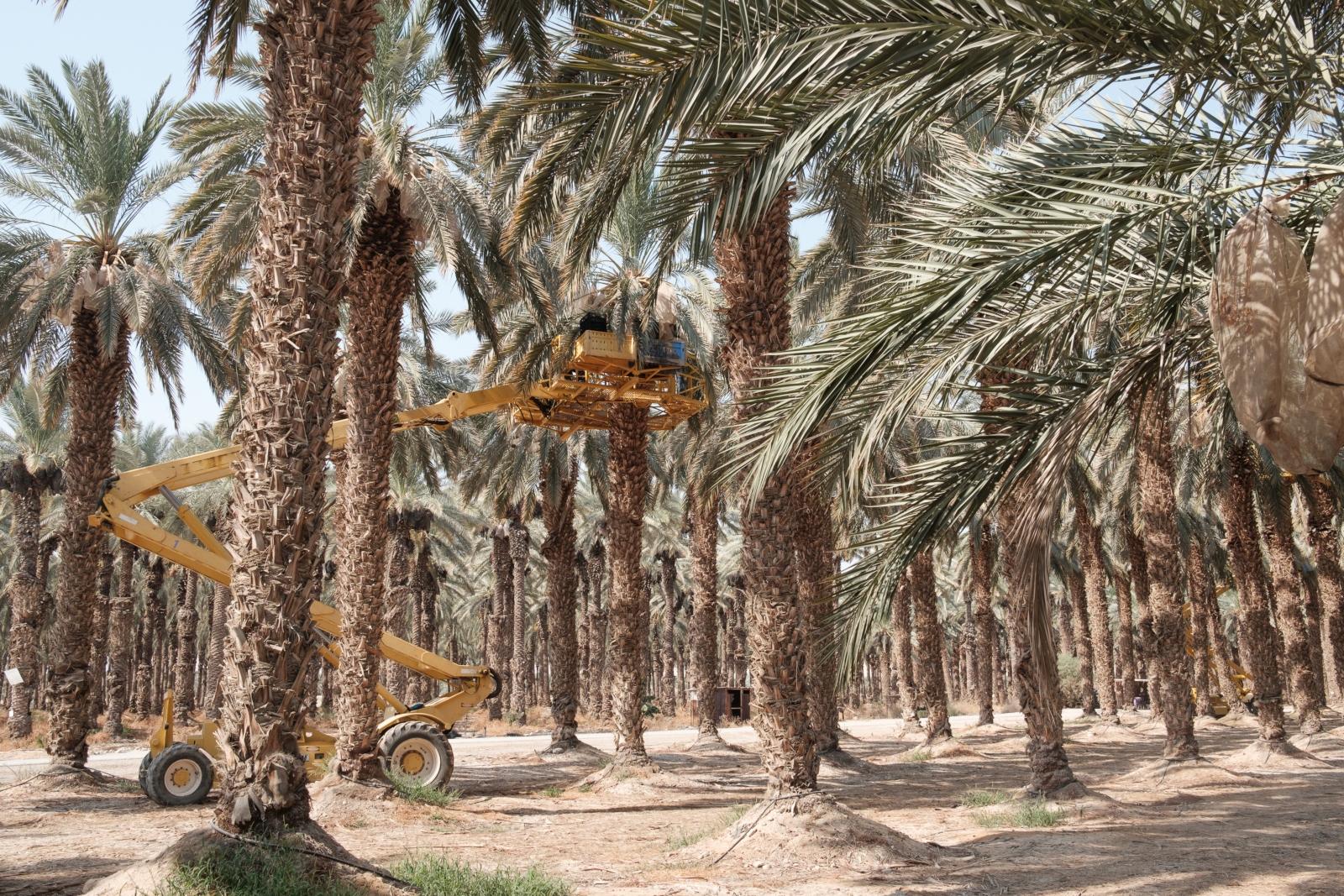 Datolyafák árnyékában jobban megy az arab-zsidó együttélés