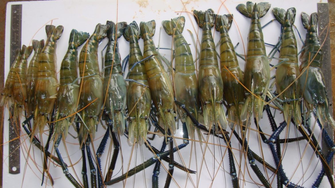 """""""Szuper garnélarák"""" segíthet leküzdeni az afrikaiak millióit érintő fertőzést"""