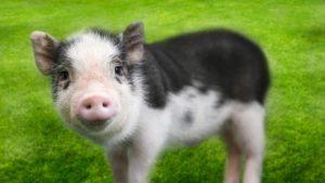 Lehetetlen küldetés: Mostantól csak kóser disznóhúst lehet Izraelbe importálni