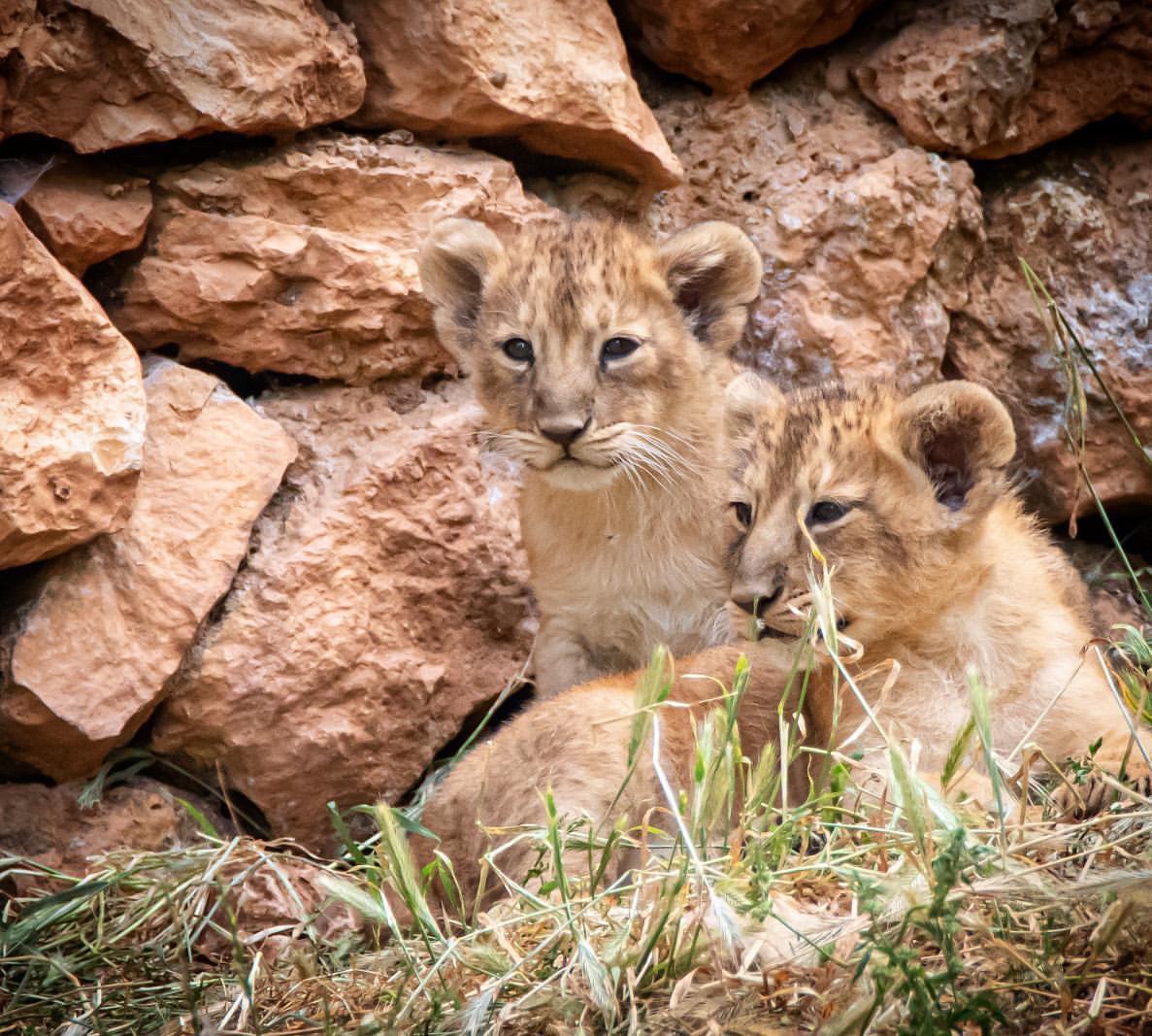 Ázsiai oroszlánok születtek a jeruzsálemi bibliai állatkertben