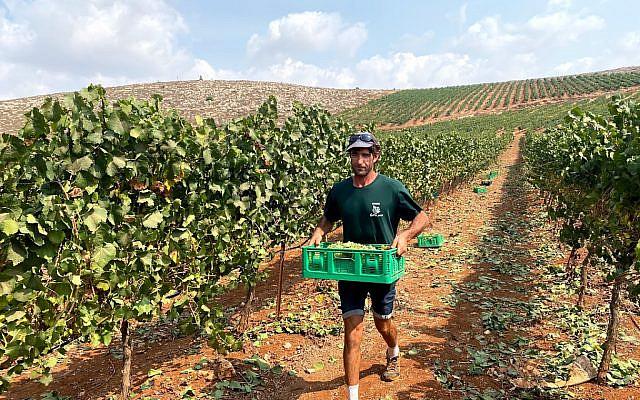Hősies izraeli gazdák készülnek a Smitá-ra